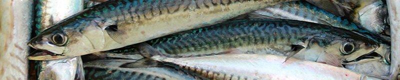 sardines are ubiquitous and tasty
