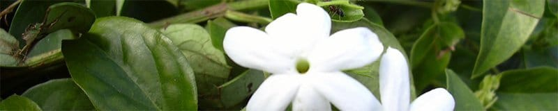Jasmine plant with little white flowers which heavy perfume sultry nights in the city