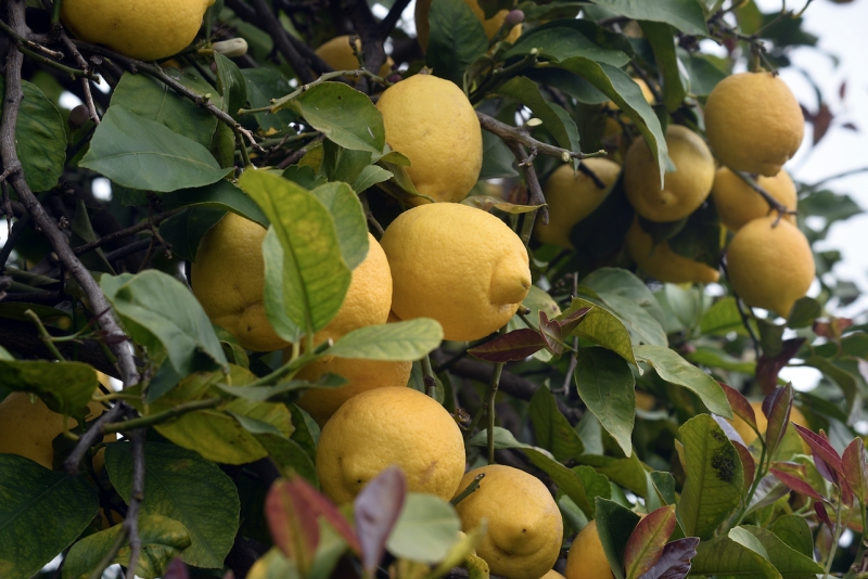 Sicilian lemon grove, food for and by the Gods