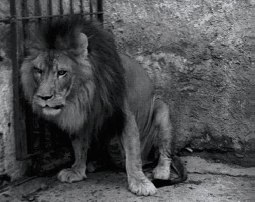 Cicco the sad lion